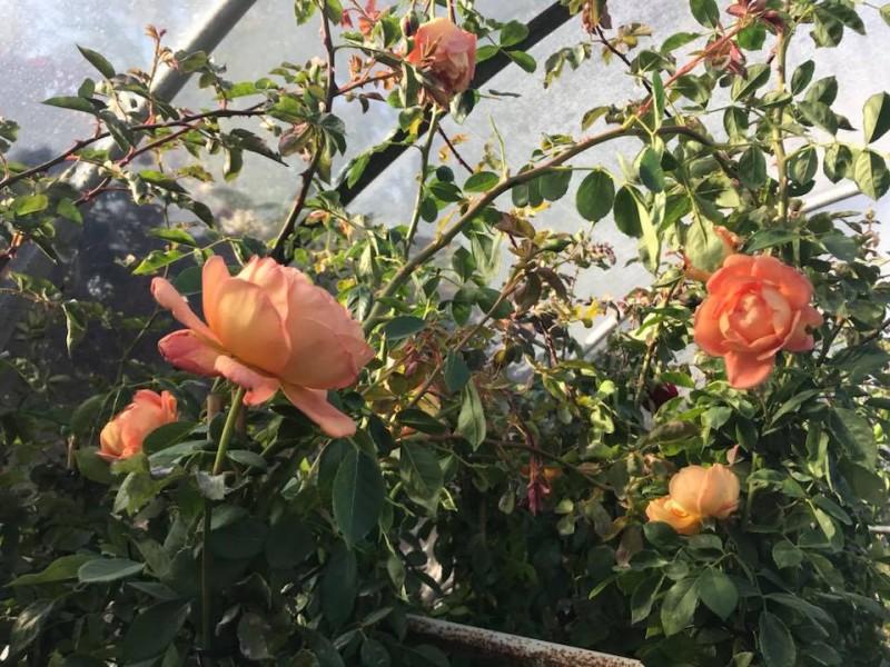 Trandafiri urcatori  `Orange ` la ghiveci de 5 litri h=1,5m. Poza 10717