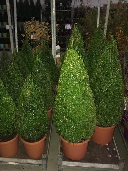 Arbusti forme tunse CON / BUXUS MICROPHYLA FAULKNER ghiveci 18 litri, H=90CM. Poza 10755