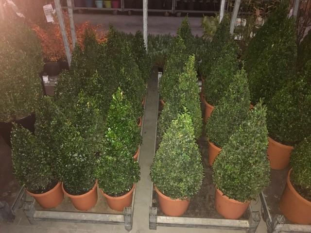 Arbusti forme tunse CON / BUXUS MICROPHYLA FAULKNER ghiveci 7 litri, H=40CM. Poza 10759