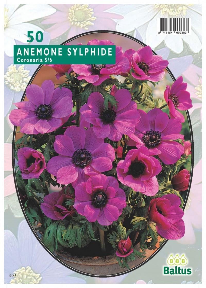 Bulbi flori de gradina Anemone Sylphide, 50 bulbi /pachet. Poza 10799