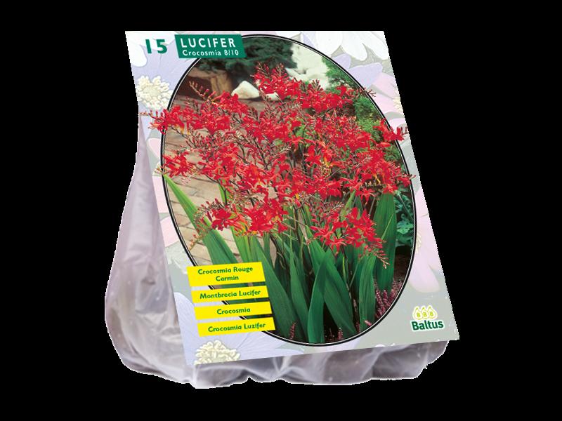 Bulbi flori primavara Crocosmia Lucifer, 15 bulbi/pachet. Poza 10808