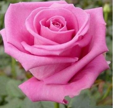 Trandafiri de gradina cu radacina ambalata  soiul Aquatica. Poza 10910