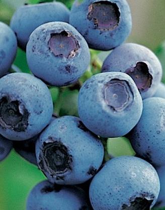 Arbusti fructiferi Afin, Vaccinium corymbosum , Bluecrop, ghiveci 1l,h=28 cm. Poza 11186