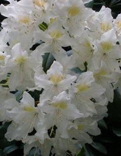 Arbusti cu flori RHODODENDRON Cunningham s White,h=60 cm. Poza 11213