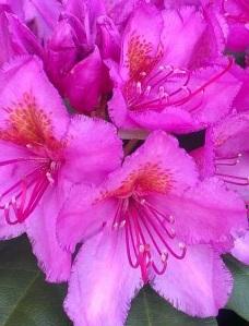 Arbusti cu flori RHODODENDRON Delta ,h=40cm. Poza 11256