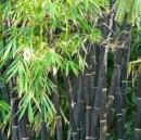 Bambus negru `Phyllostachys Nigra`  h=100-150 Cm. Poza 11266