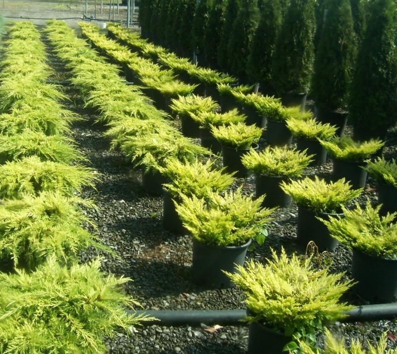 Arbusti rasinosi JUNIPERUS LIME GLOW ghiveci de 7 litri