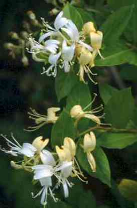 Planta urcatoare parfumata Lonicera japonica Halliana (Mana Maicii Domnului, caprifoi)