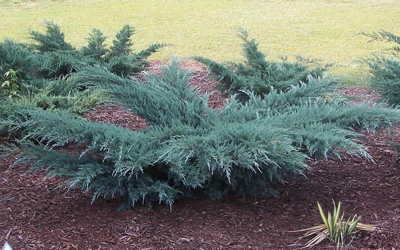 Arbusti rasinosi JUNIPERUS VIRGINIANA GREY OWL. Poza 11370