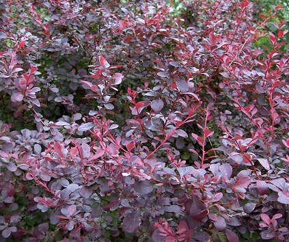 Arbusti frunze cazatoare Berberis Ottawensis Superba