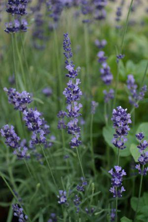 Plante perene de gradina LEVANTICA/LAVANDULA ANGUSTIFOLIA BLUE SCENT