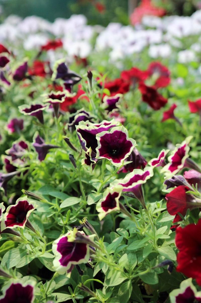 Plante de balcon petunii curgatoare culori mixte (Petunia hybrida pendula). Poza 11625