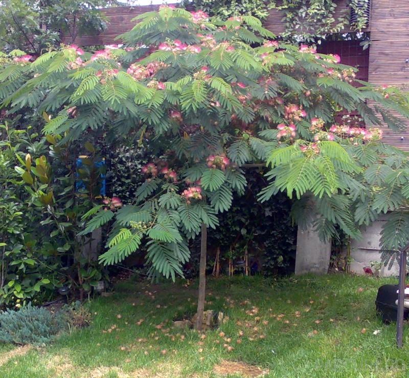 Arborele de matase /  Albizia julibrissin