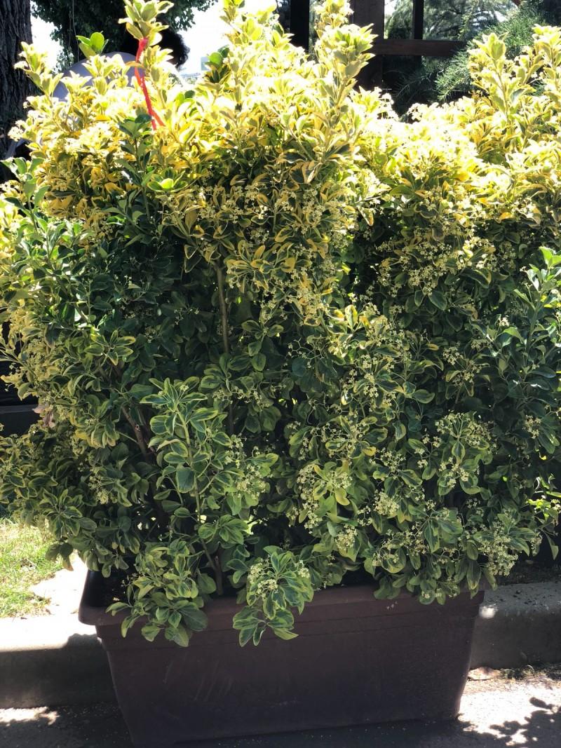 Arbust frunze persistente EUONYMUS JAPONICUS ELEGANTISSIMUS AUREUS jardiniere de gard viu 1m  h= 100-120 cm. Poza 11689
