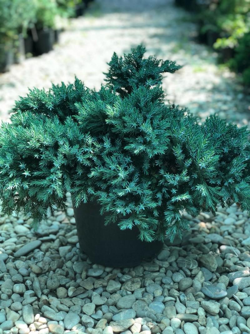 Arbusti rasinosi JUNIPERUS SQUAMATA BLUE STAR ghiveci 5 litri , 40-60 cm. Poza 11697