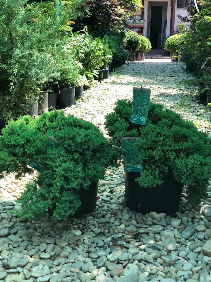 Arbusti rasinosi JUNIPERUS PROCUMBENS NANAghiveci 7 litri, 40 cm. Poza 11724