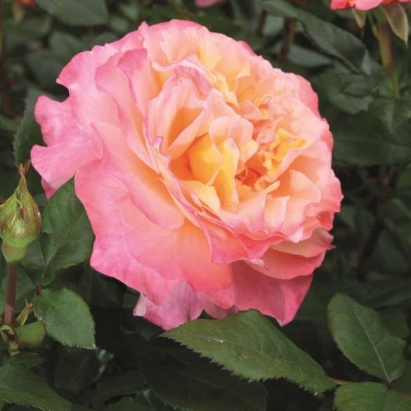 Trandafiri altoiti pe picior h=1.5 m. Augusta Luise, colorati si parfumat la ghiveci. Poza 11757