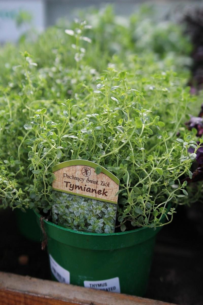 Plante aromatice de gradina Cimbru (Thymus vulgaris) in ghiveci de 1 litru. Poza 11844