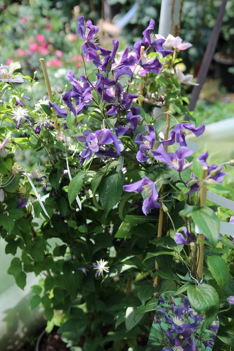 Plante agatatoare Clematis  Blue River ghiveci 2 litri, h=100-125 cm. Poza 11874