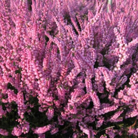 Flori perene Calluna vulgaris Herbstfeuer, flori roz, (caluna) ghivece 12 cm,. Poza 9687