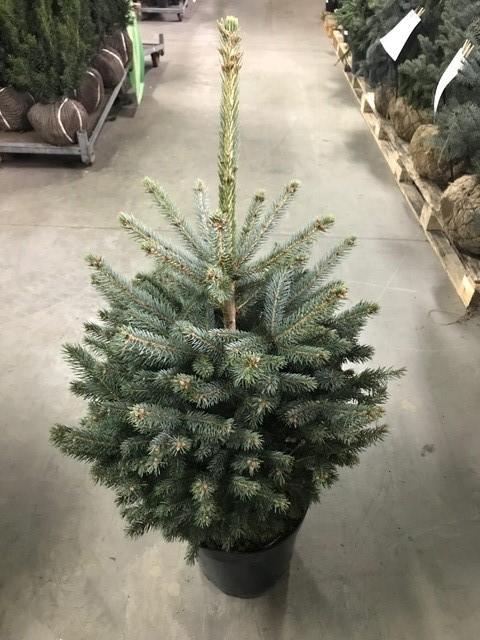Arbori rasinosi PICEA PUNGENS / MOLID ARGINTIU h=80 cm. Poza 10743