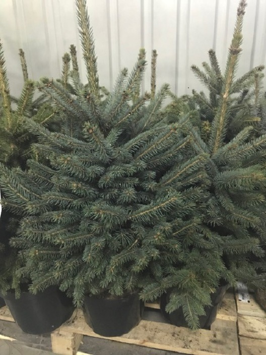 Arbori rasinosi PICEA PUNGENS / MOLID ARGINTIU h=80 cm. Poza 10729