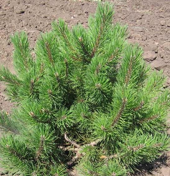 Arbusti rasinosi Pinus mugo mughus
