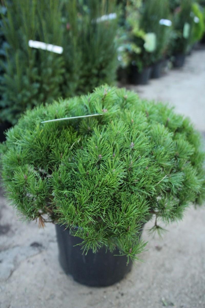 Arbusti rasinosi PINUS MUGO MUGHUS C20 050-060 diametru. Poza 12044