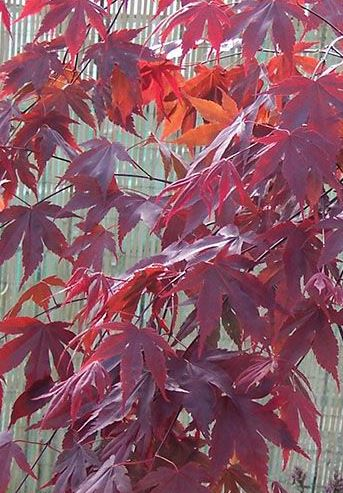 Artar japonez ACER PALMATUM BLOODGOOD ghiveci 12 litri, h=100-125cm. Poza 9510