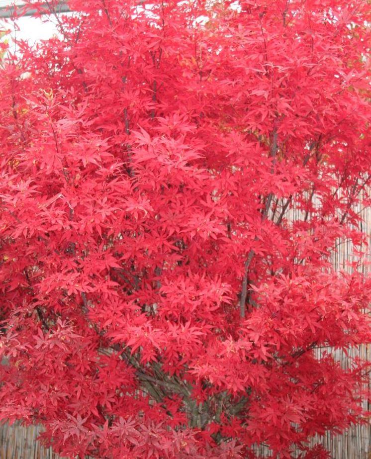 Artar japonez Acer palmatum Skeeter Broomt, RAMIFICAT, h=80-100 CM. Poza 9730