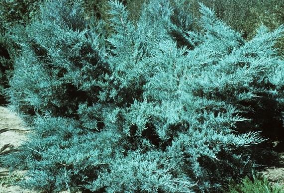 Arbusti rasinosi JUNIPERUS x MEDIA  PFIZERIANA GLAUCA CLT 10. Poza 11371
