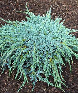 Arbusti rasinosi JUNIPERUS SQUAMATA BLUE CARPET