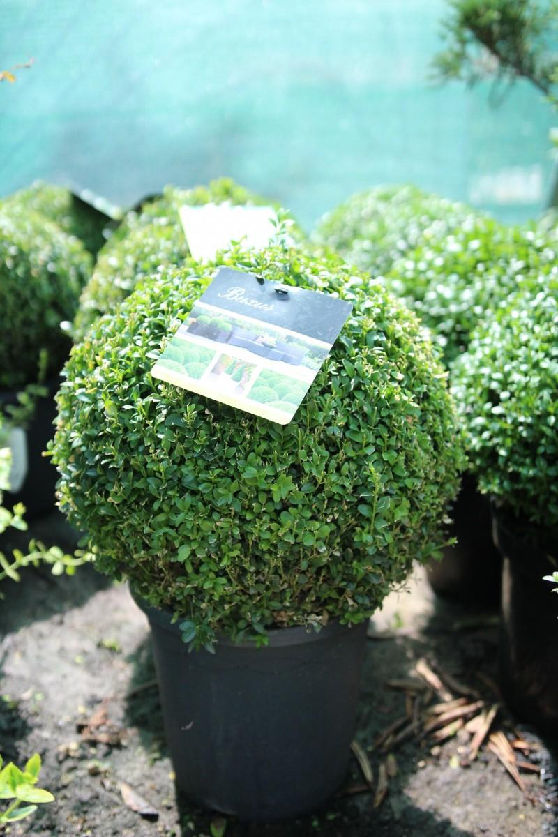 Arbusti forme tunse BILA / BUXUS MICROPHYLA FAULKNER ghiveci 18 litri, diam=40. Poza 11870