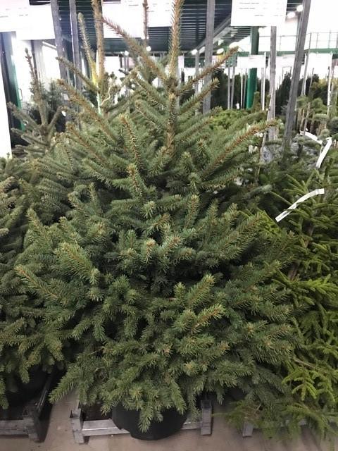Arbori rasinosi PICEA OMORICA  h=150 cm. Poza 10741