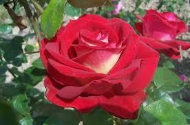 Trandafiri de gradina cu radacina BICOLETTE la ghiveci de 3 litri. Poza 12157