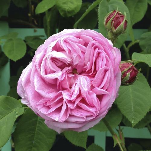 Tradafir grupa Thea, trandafir de colectie ROSE DE PEINTRES ghiveci de 3 litri. Poza 12163
