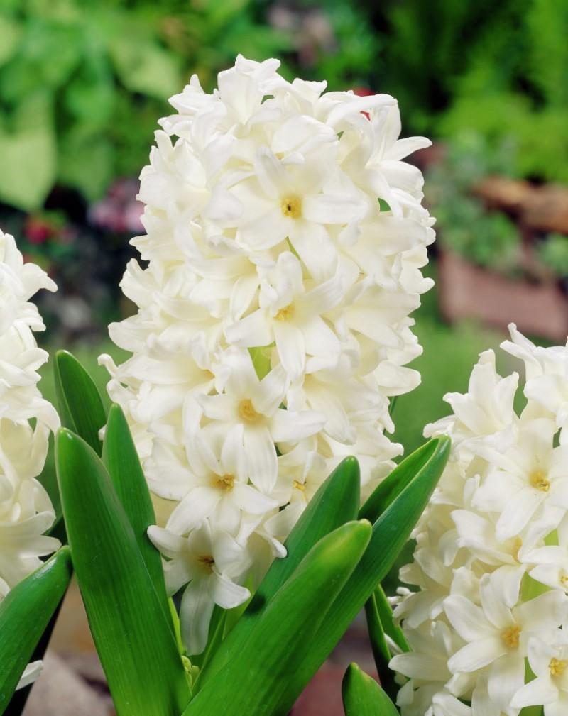 Bulbi de zambile, Carnegie, 1 buc/ghiveci, culoare alb. Poza 9614