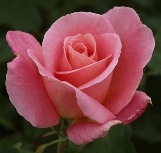 Trandafiri de gradina cu radacina ambalata  soiul Tiffany. Poza 10909