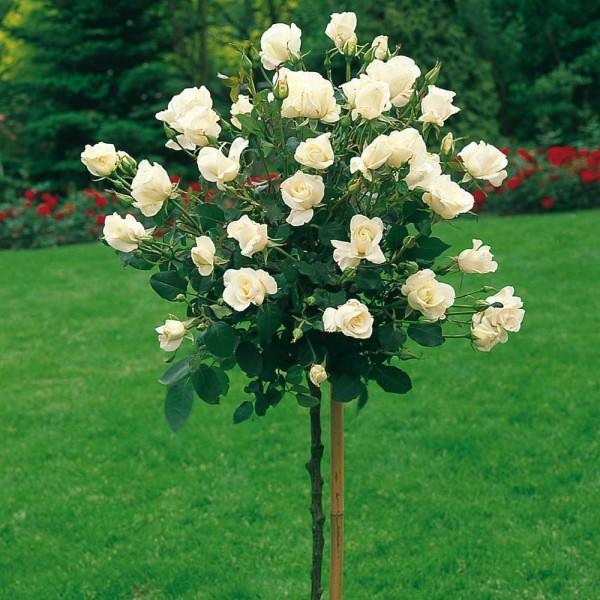 Trandafiri de gradina pe picior, radacina ambalata,soiul Casanova. Poza 10938