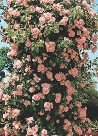 Trandafiri agatatori de gradina urcatori cu radacina New Dawn.Cei mai frumosi trandafiri cataratori de gradina cu flori mari, catifelate si parfumate