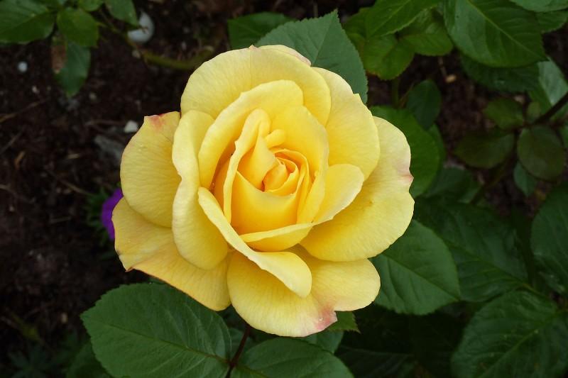 Trandafiri de gradina cu radacina ARTHUR BELL la ghiveci de 3 litri. Poza 12155