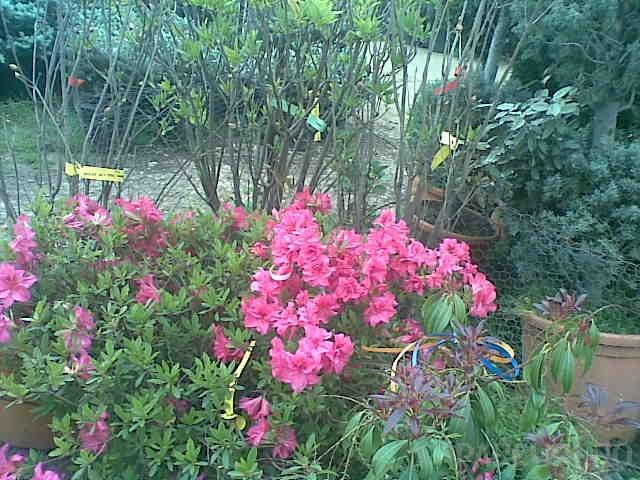 Azalea japonica`Hino Crimson