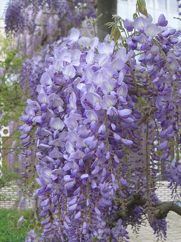 Plante urcatoare Wisteria sinensis (glicina)