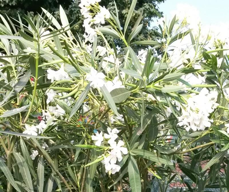 Plante de balcon NERIUM OLEANDER (leandru roz) ghiveci 18  litri h=120-140 cm. Poza 8605