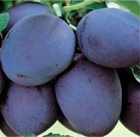 Pomi fructiferi Pruni soiul Stanley la ghiveci