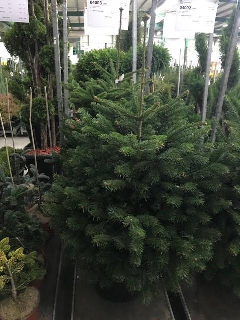 Arbori rasinosi ABIES NORDMANNIANA (Bradul Caucasian) h=100-120 cm. Poza 10733