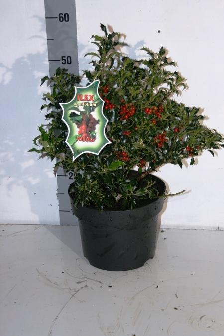 Arbust frunze persistente Ilex aquifolium  20-30 cm. Poza 12700