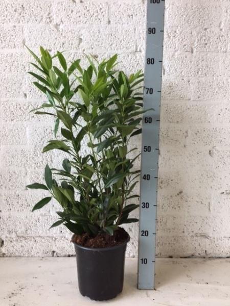 Arbusti foiosi evergreen PRUNUS LAUROCERASUS HERBERGII P21 50-60 CM. Poza 12704