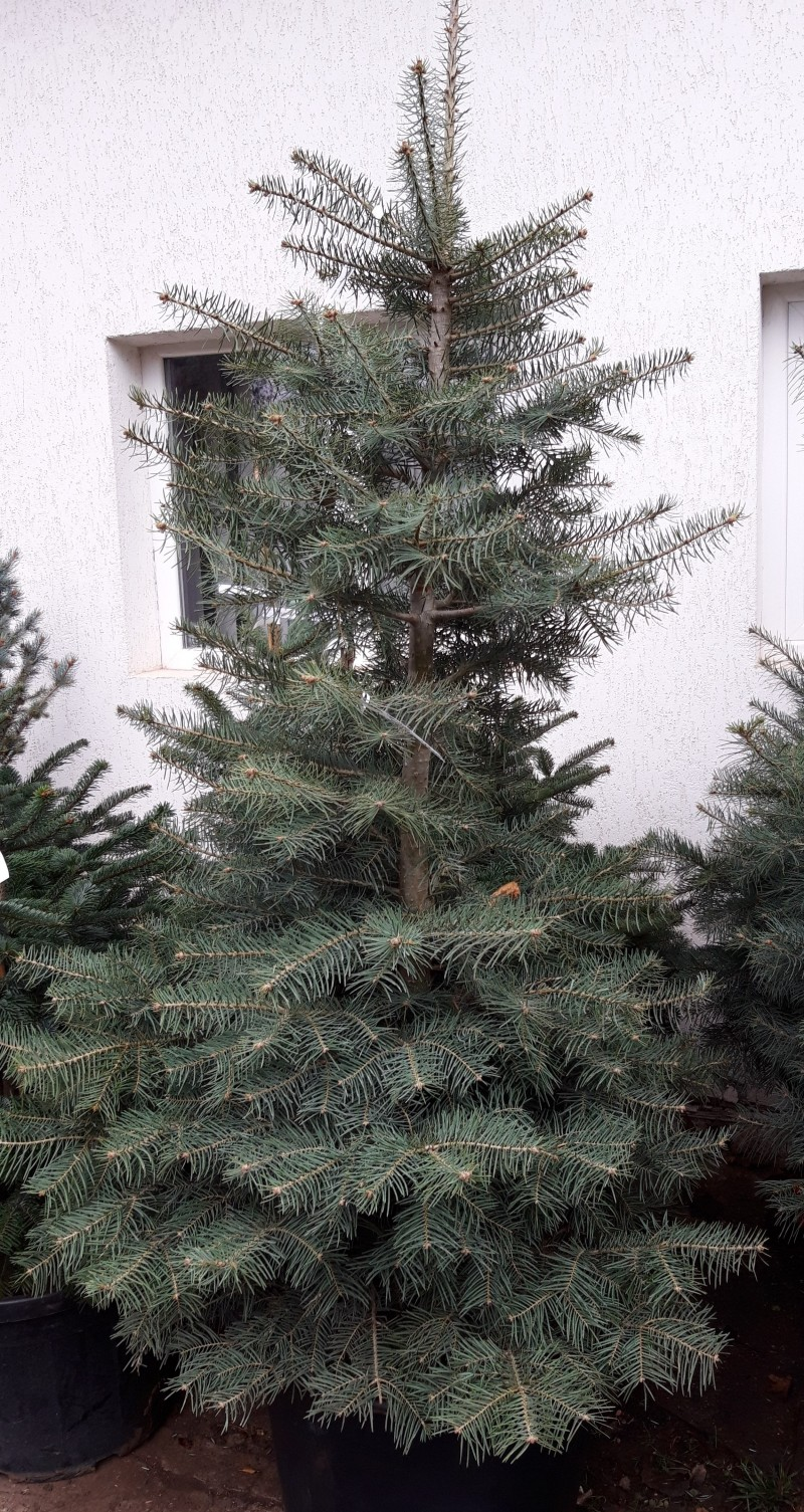 Arbori rasinosi Abies Concolor  200/250. Poza 12708
