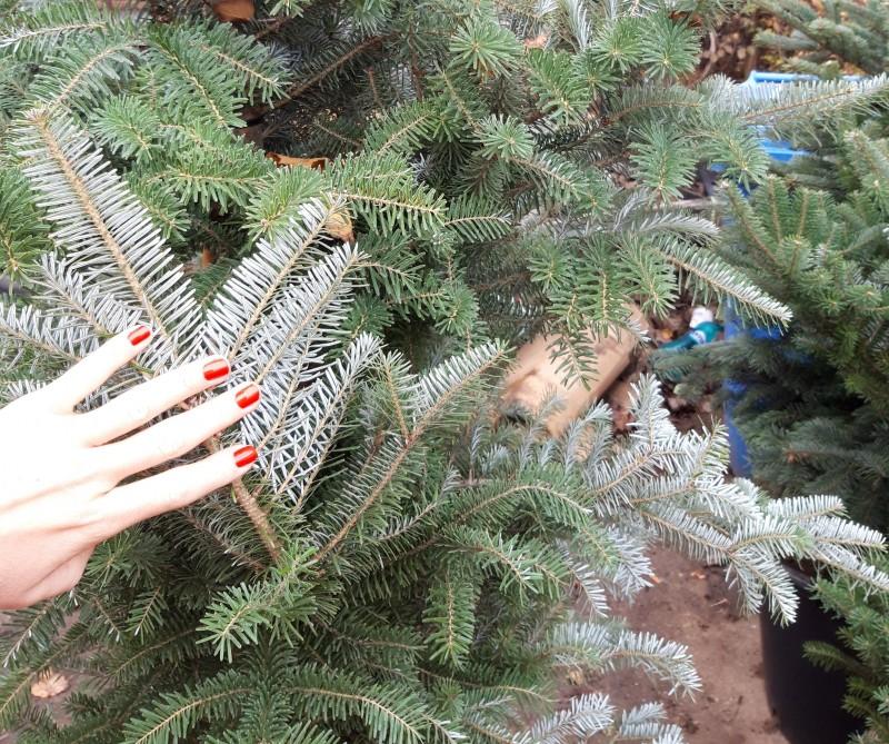 Arbori rasinosi ABIES KOREANA  h=250/300 cm. Poza 12718